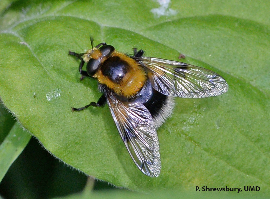 Not a bee! Notice the single pair of wings and short, feathery antennae of the flower fly Volucella.