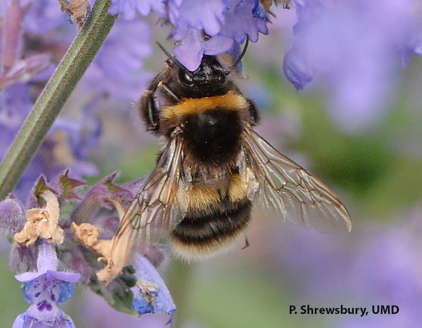 A bee! See the two pairs of wings, one large and one small, and longer elbowed antennae of a bumble bee.