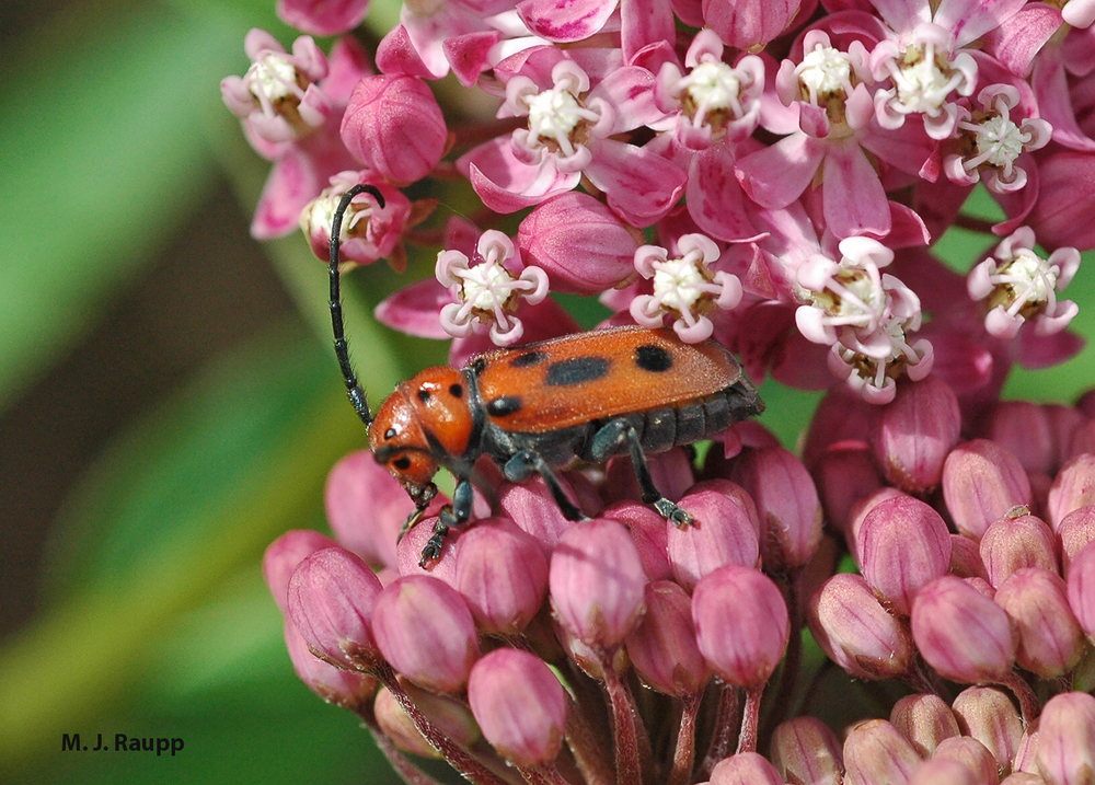 During the early weeks of summer, milkweed longhorned beetles often adorn beautiful flower heads of milkweed.