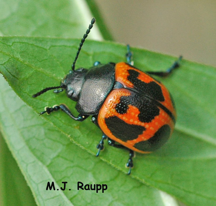 Larvae of the milkweed leaf beetle may also eat significant quantities of milkweed leaves.