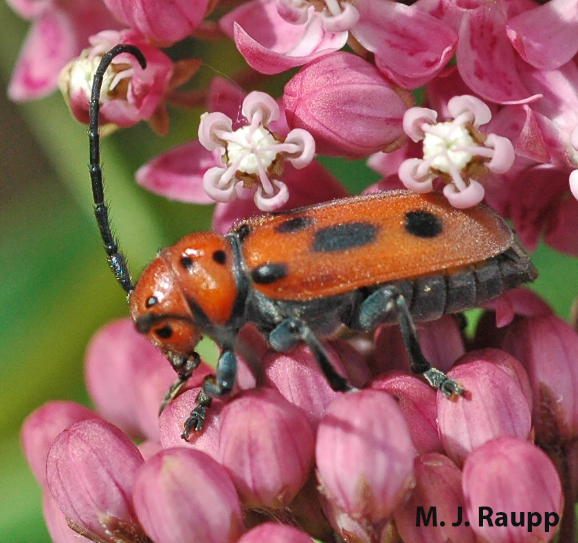 Milkweed longhorned beetles feed on leaves of milkweed, but leave plenty for monarch caterpillars.