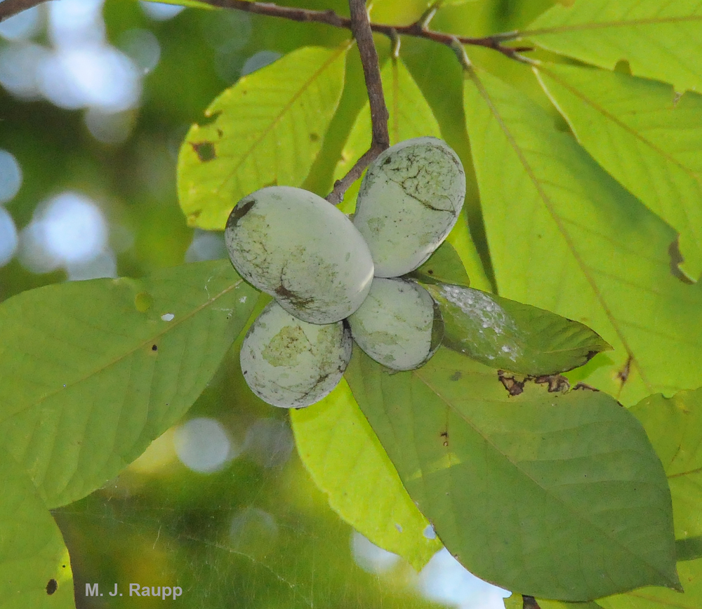 Pawpaw will soon produce its delicious crop, one of the largest edible fruit of any native North American tree.