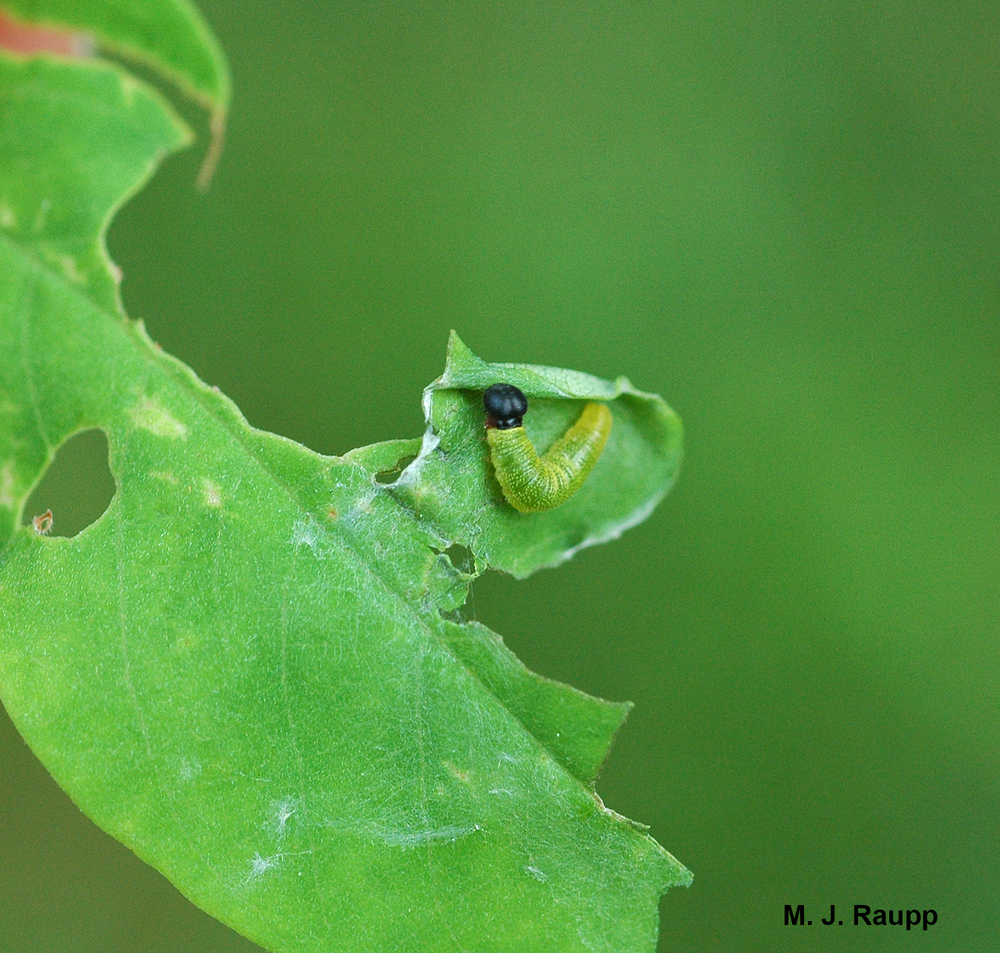 A young silver spotted skipper larva hides in a rolled leaf margin.