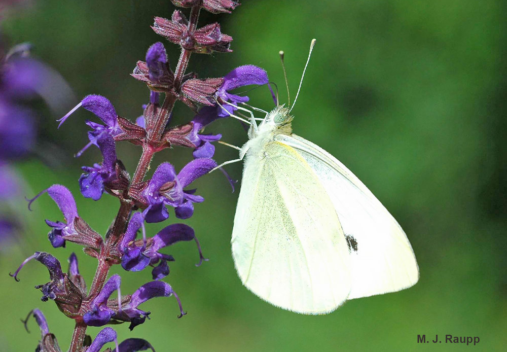 The adult is beautiful to behold, but caterpillars of the cabbage butterfly will wreak havoc on members of the cabbage family.