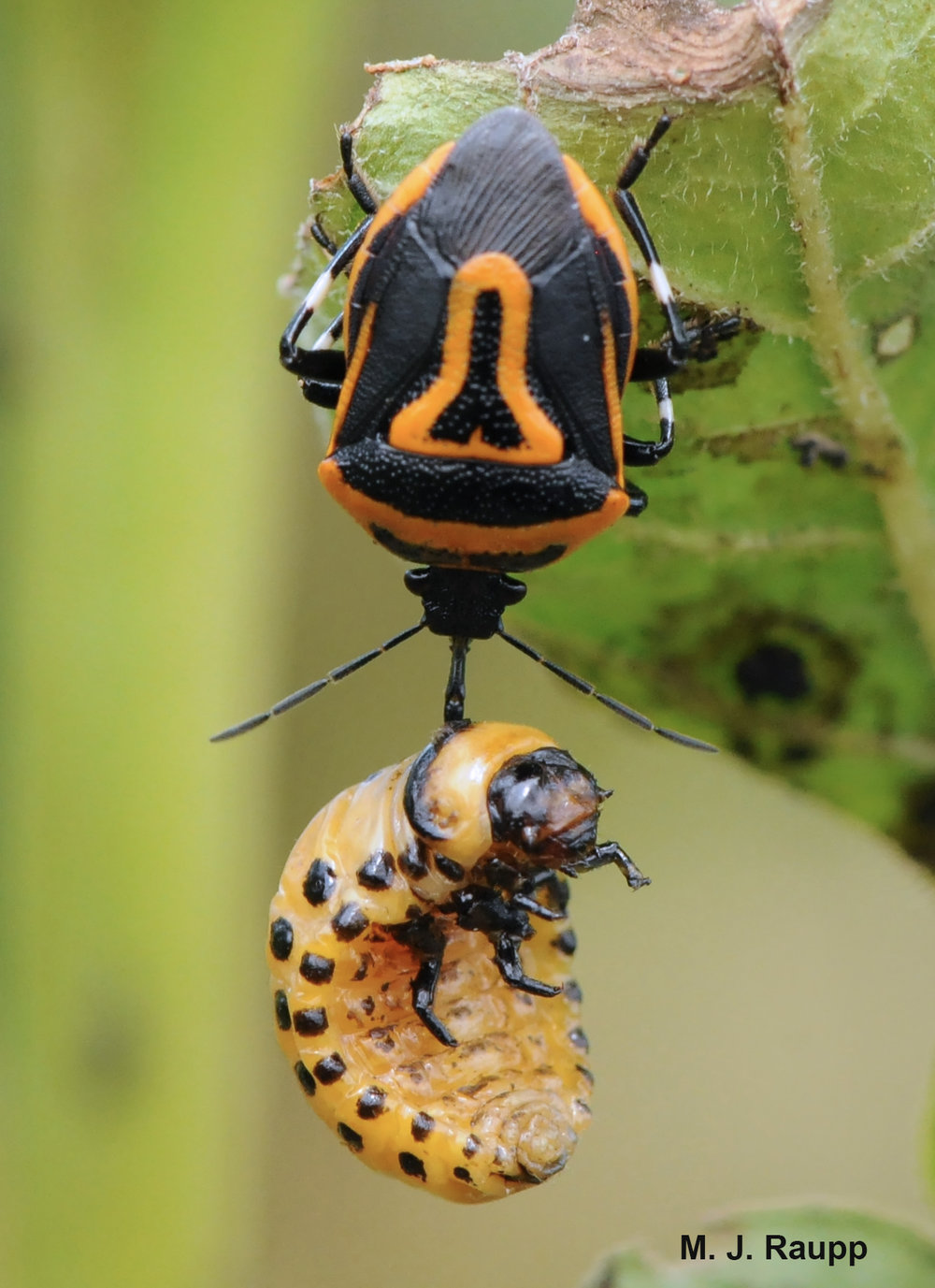 Bugs in orange and black, predator and prey: Two-spotted stink bug, Perillus bioculatus, and Colorado potato beetle, Leptinotarsa decemlineata