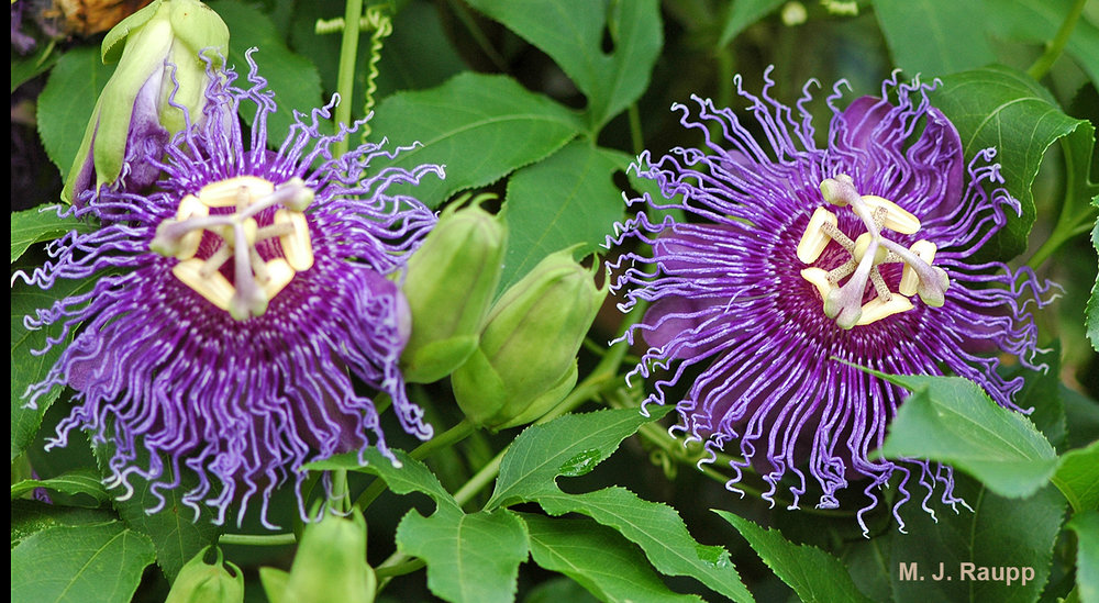 Flowers of the passion vine are among the most magnificent in the plant world.