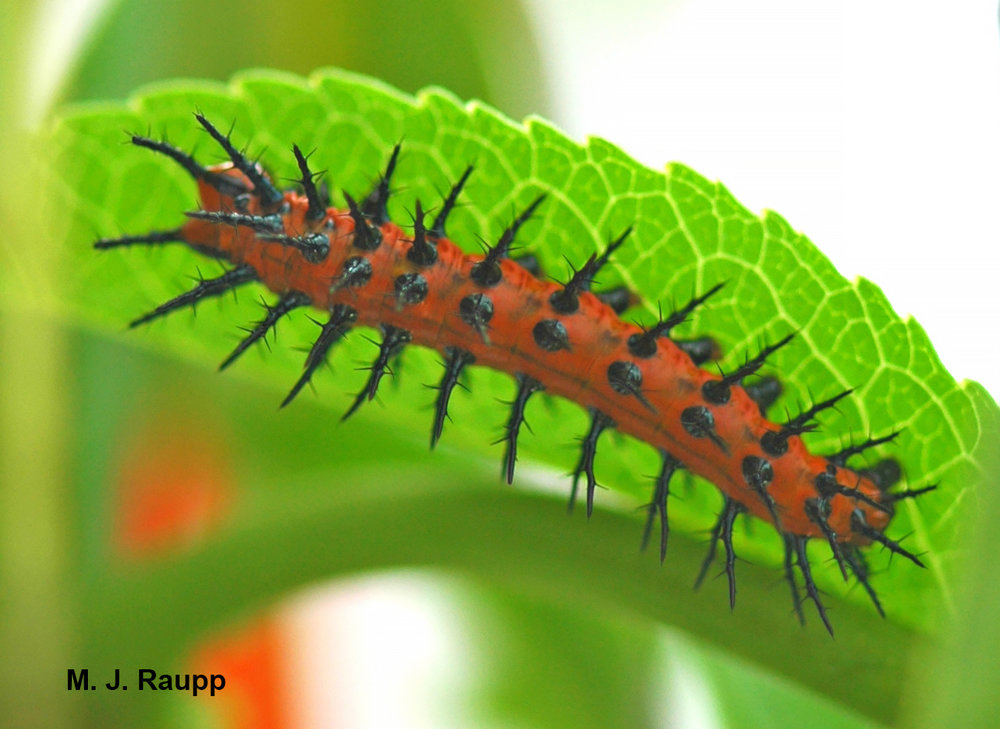 Striking contrasts of orange body and black spines may serve as a warning to predators to avoid making a meal of Gulf fritillary caterpillars.