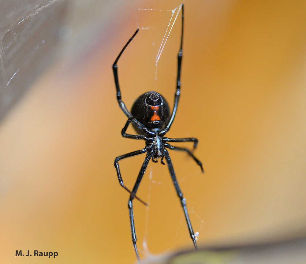 Red or orange spots on the underside of a bulbous abdomen are the hallmark of black widow spiders.