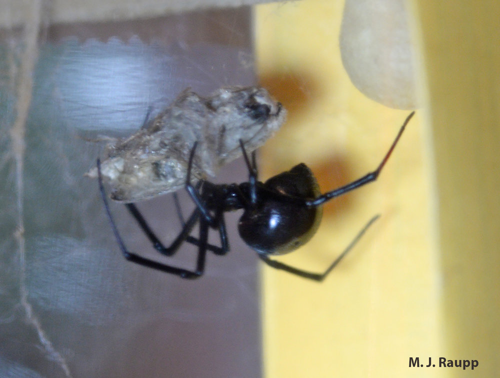Having paralyzed a hapless moth with venom and wrapped her victim in silk, the black widow will feed at leisure.