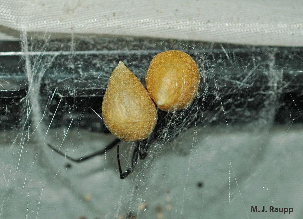 Hundreds of spiderlings hatch from a single egg sac of the black widow and each female can lay several egg sacs annually.