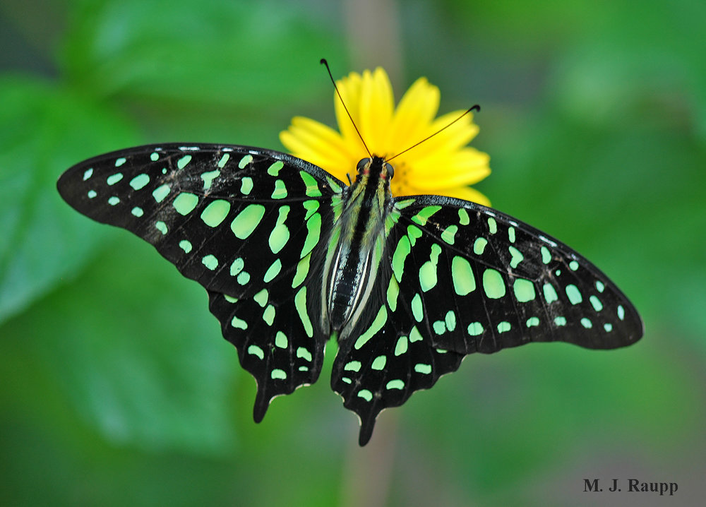 Colors of the tailed jay butterfly are produced by thousands of scales on its wings.