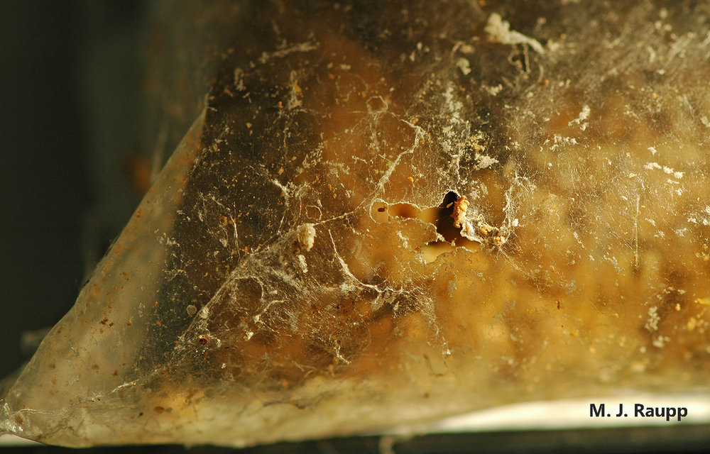 Indian meal moth caterpillars can chew through plastic and invade other bags of grain, seeds, and fruit.