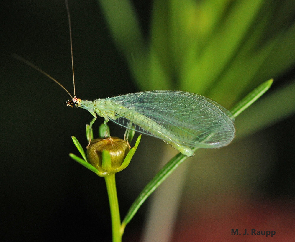 With the return of spring and warm weather lacewing adults will be found at porch lights and seeking tasty meals on plants.