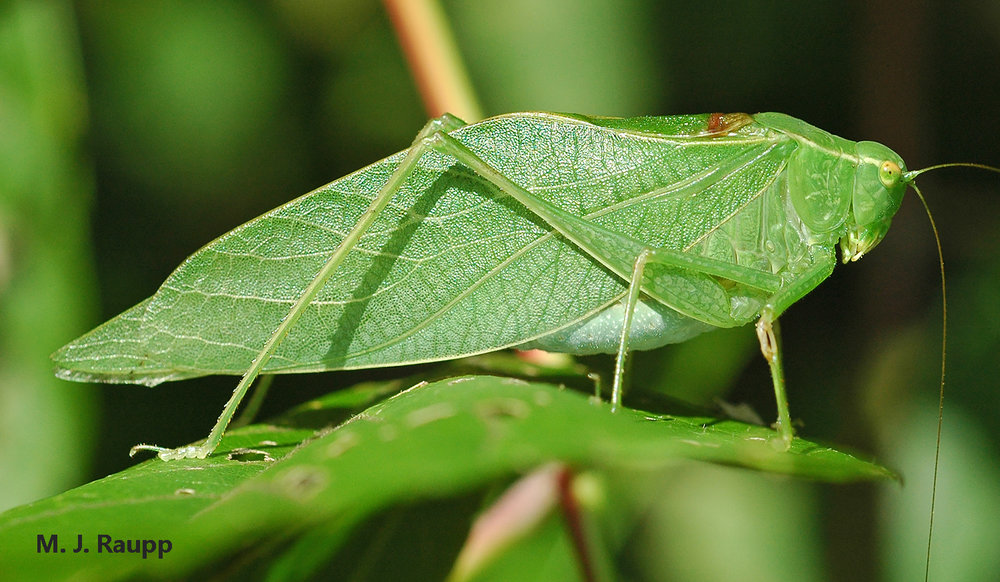How marvelously the venation on the wing of the katydid matches the veins of the leaves on which it hides from predators.