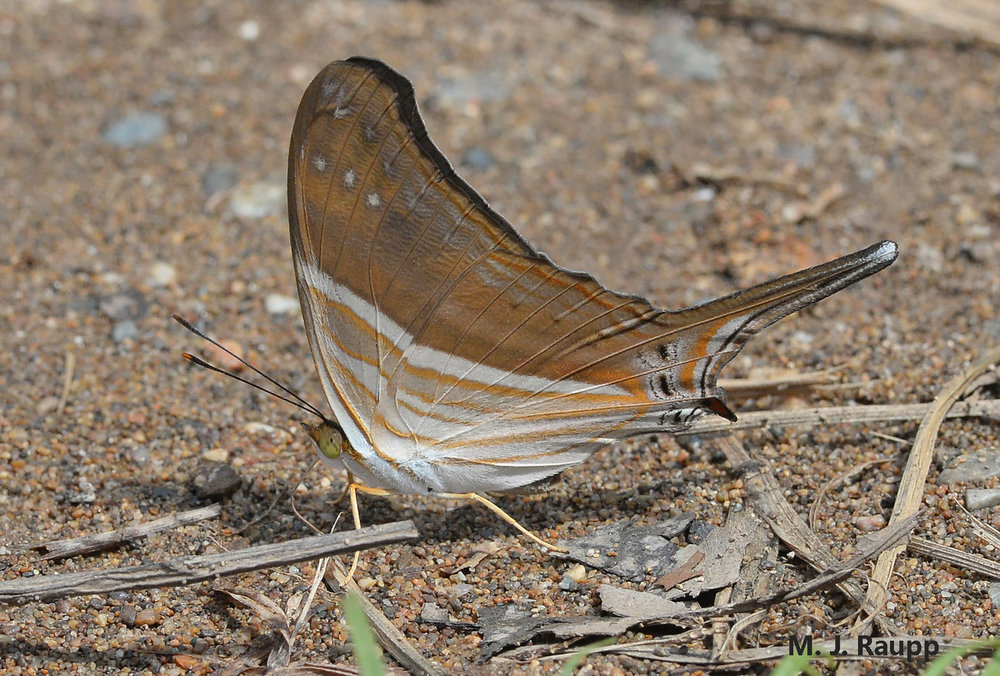 Marpesia are famous for striking patterns on their underwings.