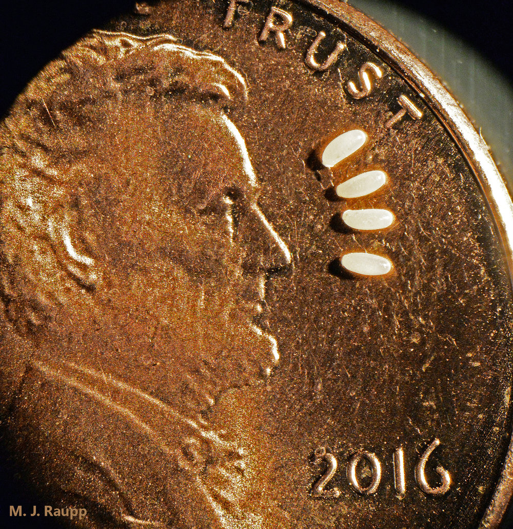 President Lincoln sees just how small bed bug eggs really are.