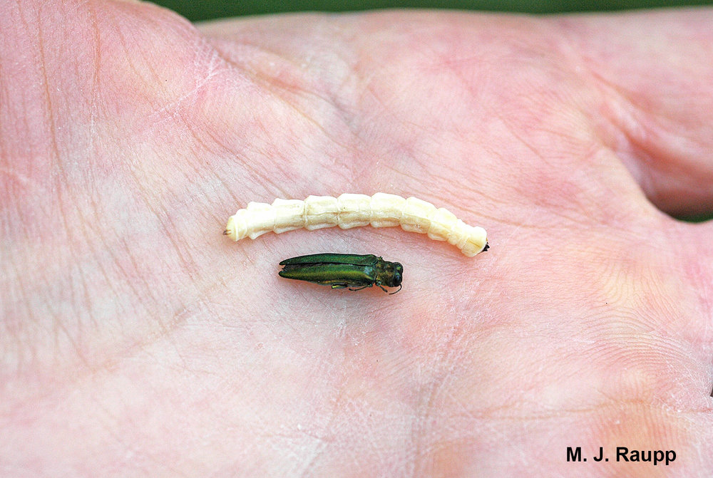 Emerald Ash Borer adults and larvae easily fit in the palm of your hand but when thousands attack a single tree, its fate is sealed.