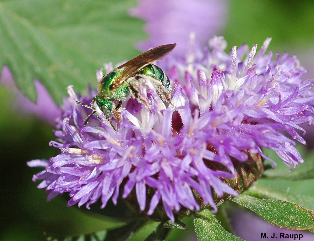 Sweat bees are among the most beautiful of visitors to flowers as they gather nectar and pollen for their young.