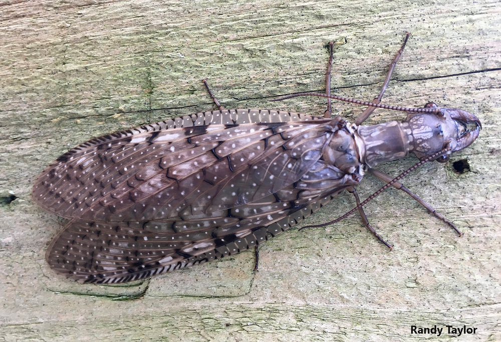 An image of this lovely female dobsonfly was one of several recently sent to Bug of the Week for identification. Photo credit: Randy Taylor