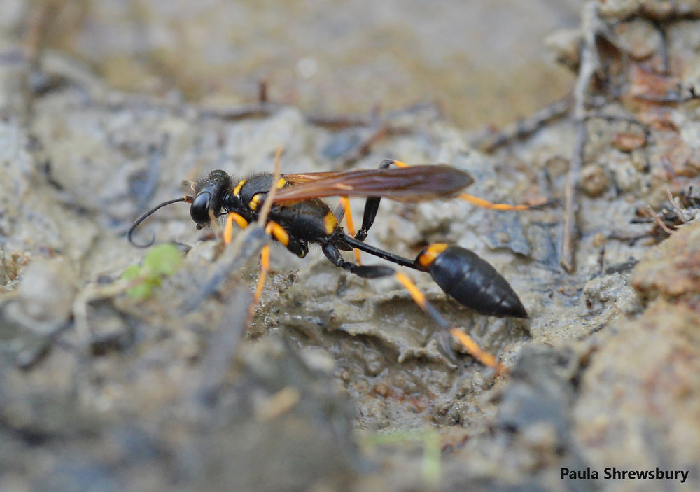 A beautiful black and yellow mud dauber prepares to gather mud at the water's edge of the mighty Shenandoah.  Photo credit: Paula Shrewsbury