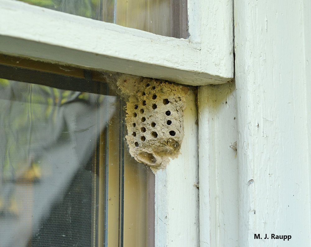 Exit holes mark emergence sites of mud daubers that have completed development within mud nests constructed by their mothers.