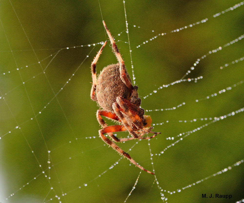 A spotted orbweaver spider just hanging out.