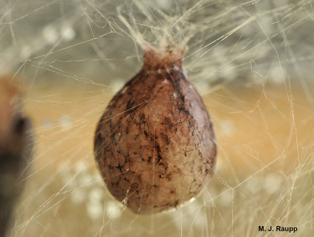 How many spiderlings will emerge from an egg case almost the size of a Ping-Pong ball?