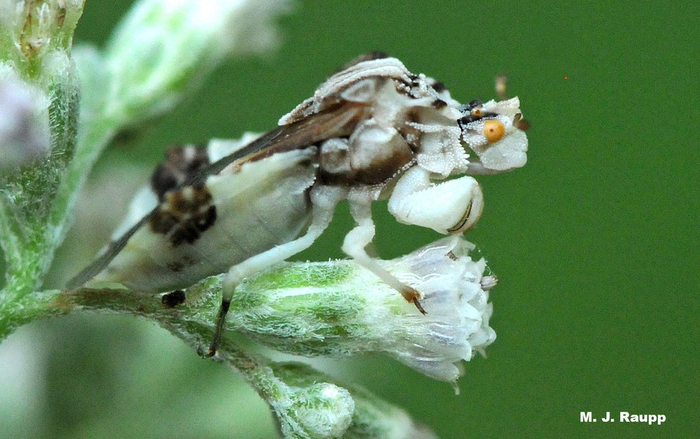 Greatly enlarged forelegs enable the ambush bug to snare its victim like a catcher snaring a wild pitch.