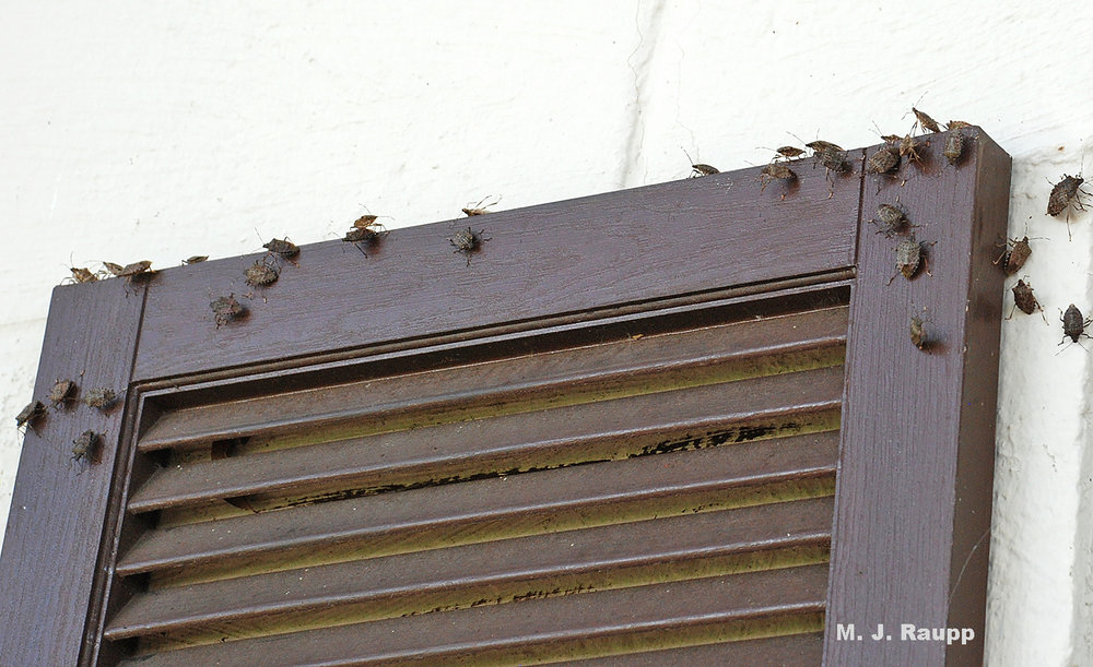 Stink bugs check out a shutter as a potential winter refuge.
