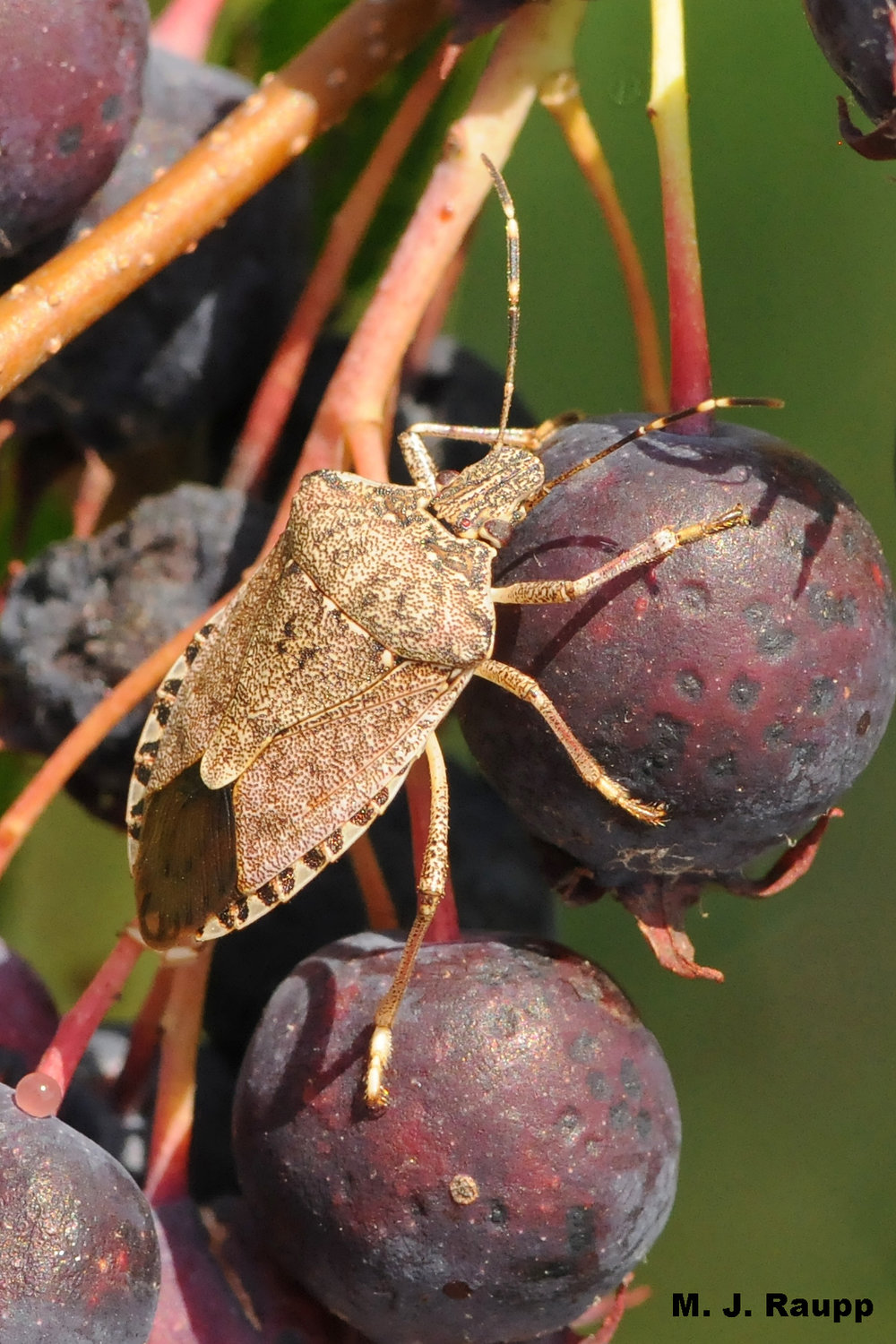 After feeding on your fruiting trees and shrubs, stink bugs are preparing to enter your home.