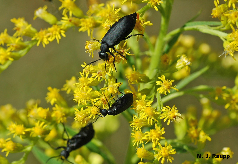Black blister beetles are common visitors to goldenrod in late summer and early autumn.