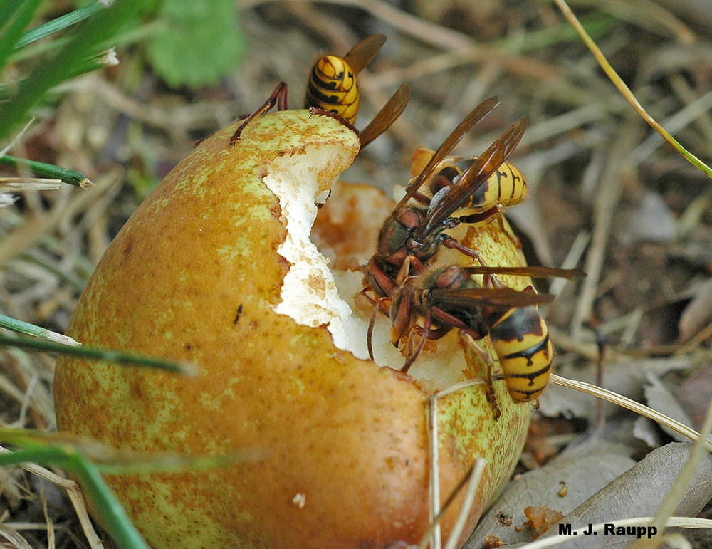 Fallen fruit are a favored source of nutrients for many stinging insects. Please don't go barefoot near fruit trees in autumn lest you have a zesty surprise.