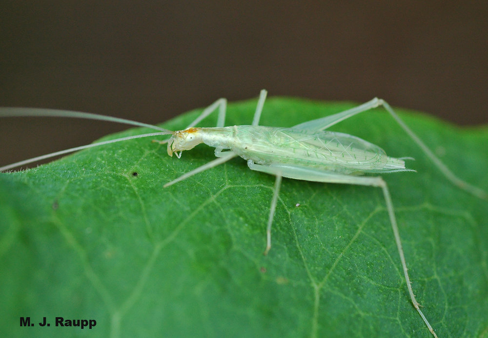 Tree crickets like this one may fall victim to the grass-carrying wasp.