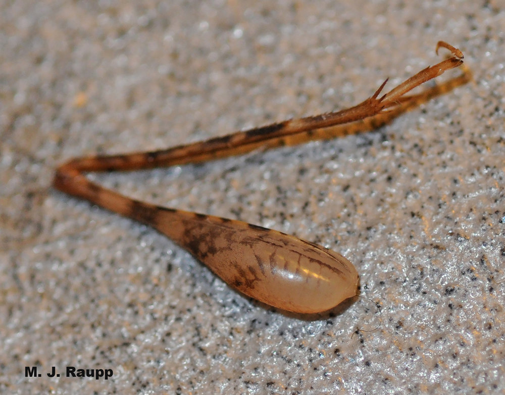 Camel crickets will drop a leg when threatened by a predator. Looks a little like a turkey drumstick doesn't it?
