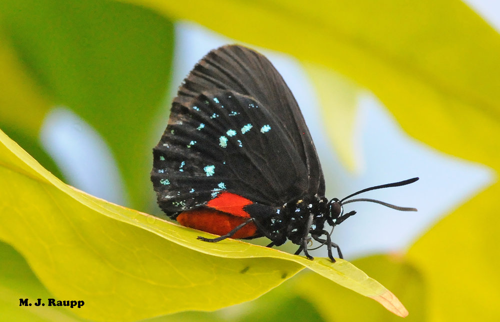 Bright colors of the Atala butterfly advertise a nasty meal and warn predators not to take a bite.