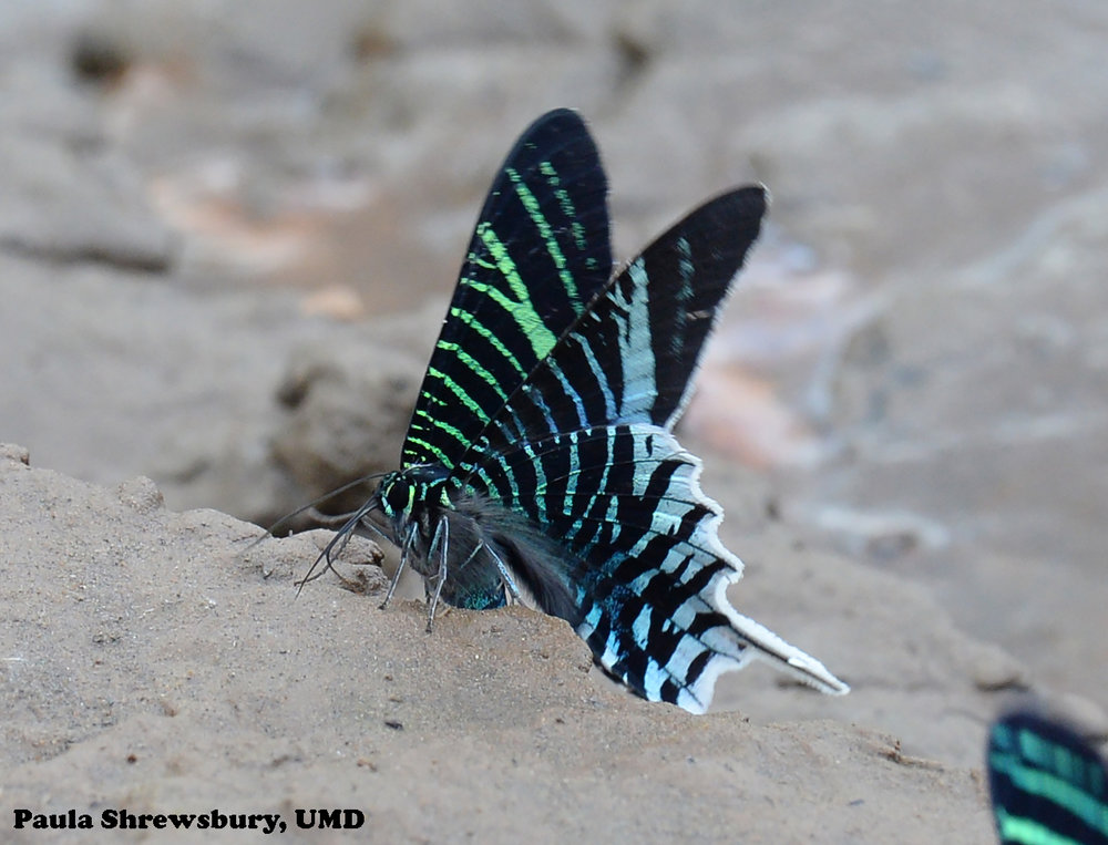 Soil on the bank of the Tambopata River supplies vital nutrients to a Urania moth.