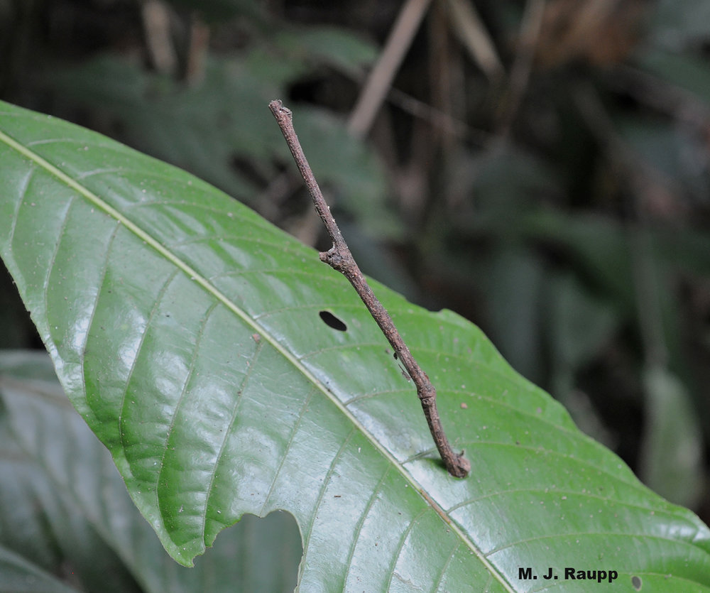 Fallen branches and twigs pierce or rest on leaves, providing many insects with an opportunity to evolve an appearance of inedibility to most insect-hunting predators.