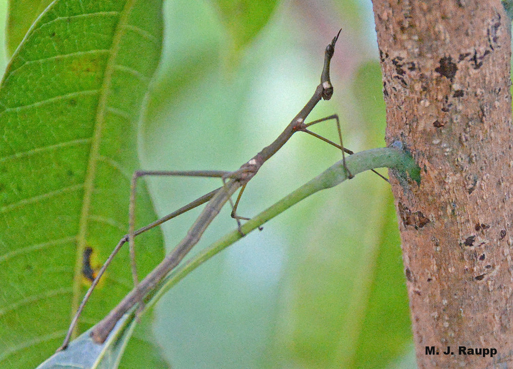 Stick-like appendages, elongated body and head help this horse-head grasshopper hide on the branch.