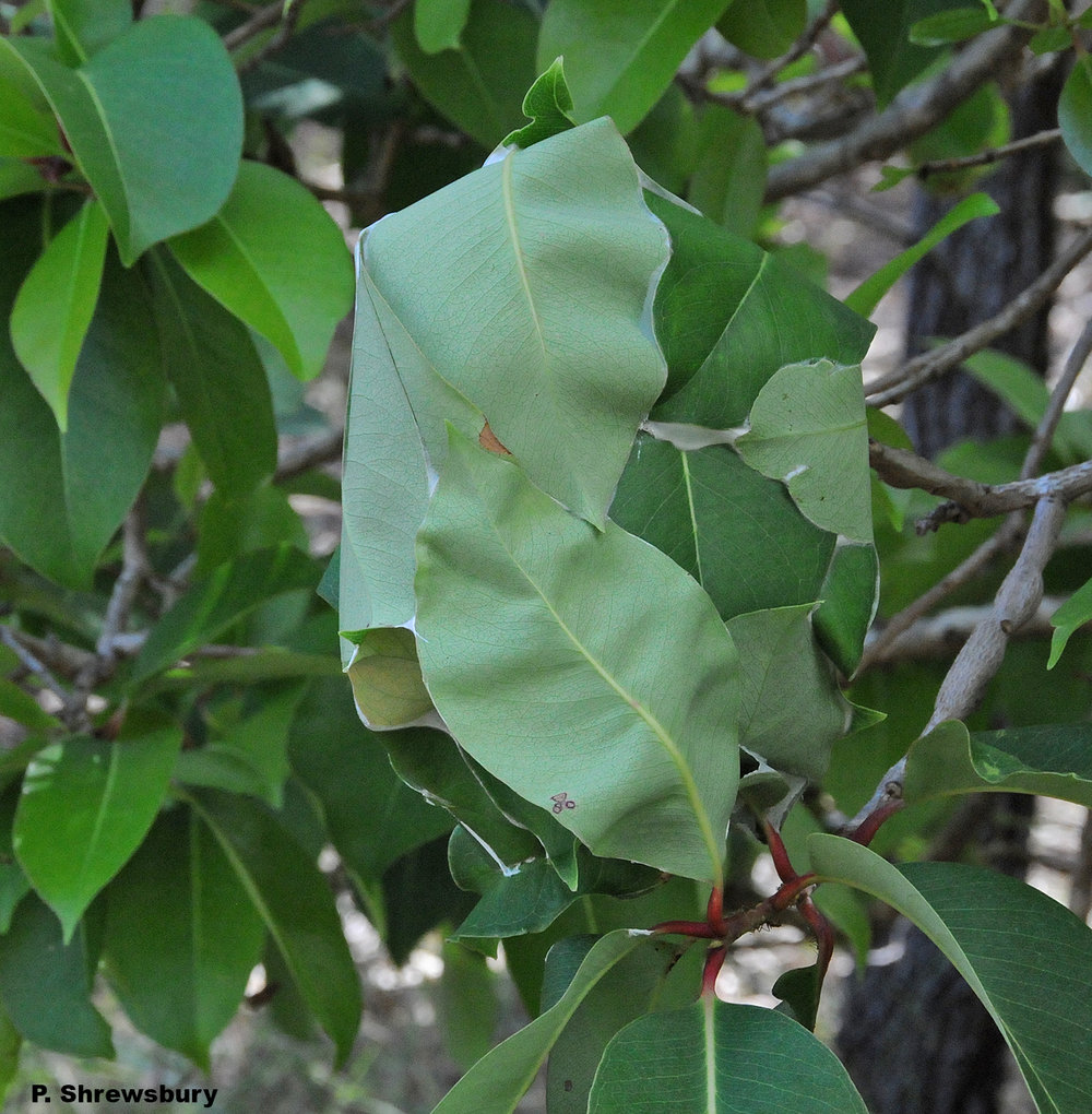 A single colony of green tree ants may consist of several smaller nests distributed in several trees.