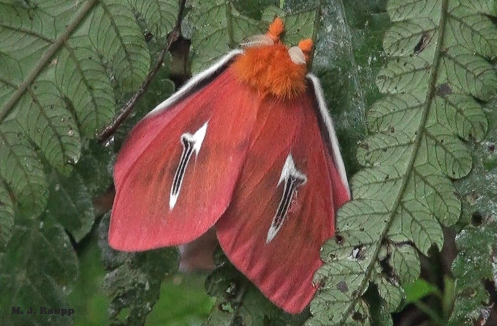 Cloud forests are home to unique and wonderful insects like the beautiful saturniid moth, Cerodirphia avenata.