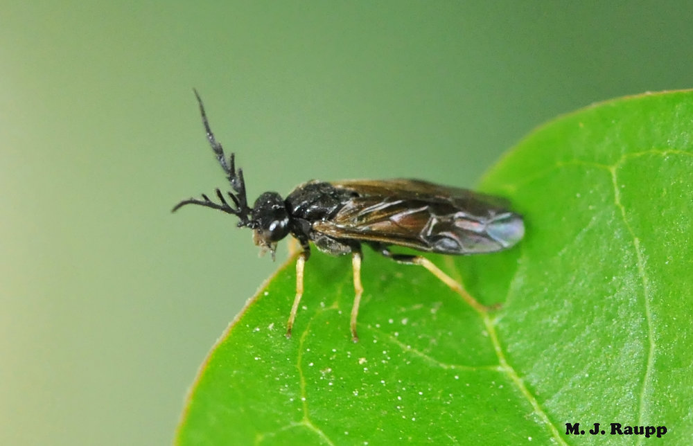 Impressive antennae adorn this tiny adult sawfly.