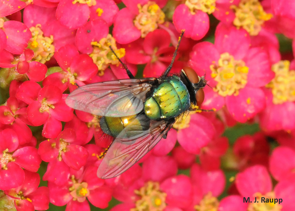 True gourmands are blow flies. When not feasting on rotting flesh or excrement, blow flies can be found pollenating beautiful flowers.