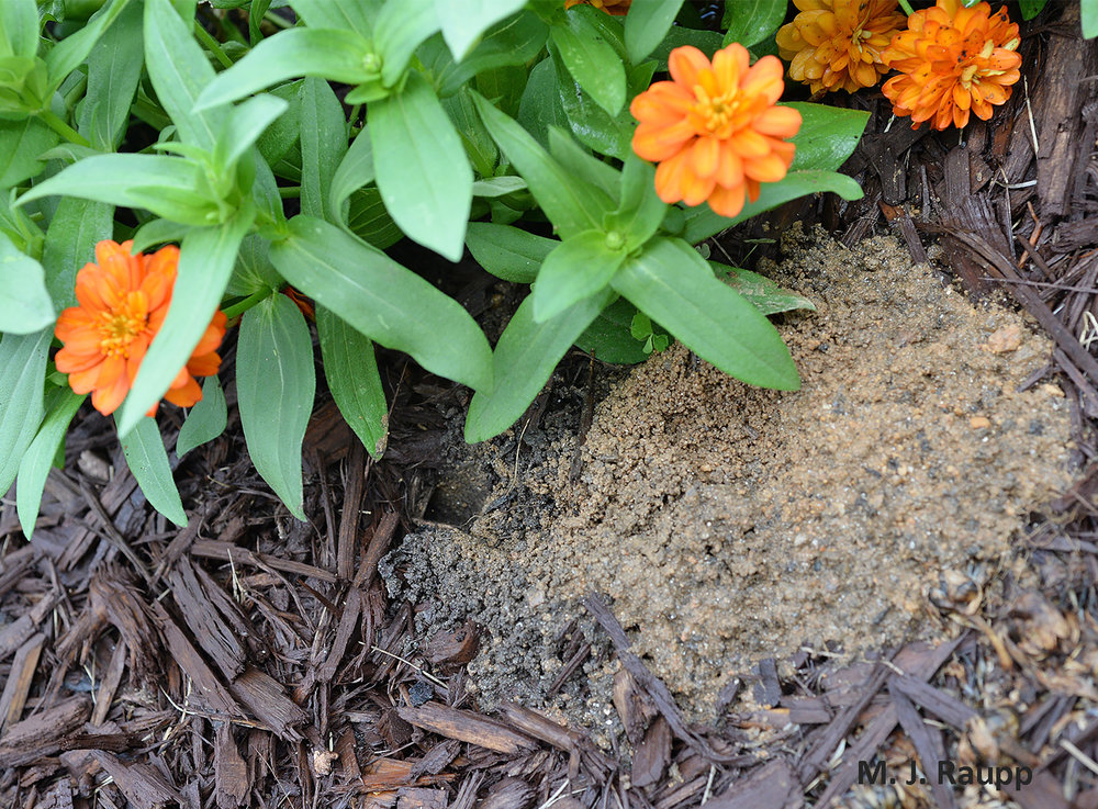Beneath my zinnias in the front flower bed a female cicada killer has prepared her subterranean gallery.