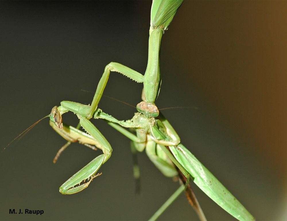 When it comes to mantis romance, a hapless suitor learns that sometimes dinner and a date means that he is dinner.