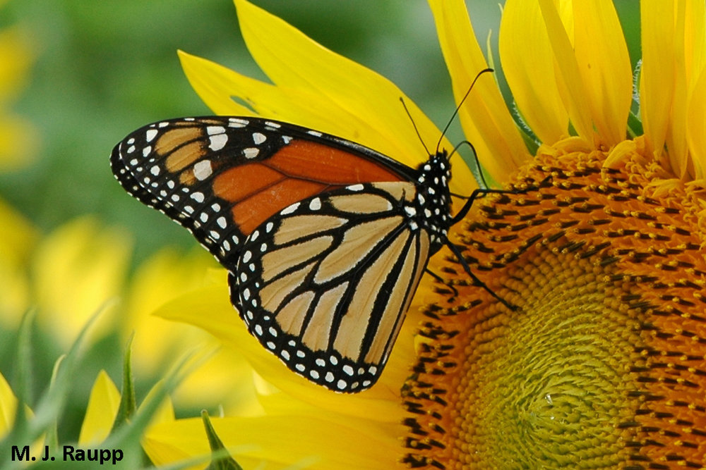Monarchs and sunflowers -  pretty spectacular!