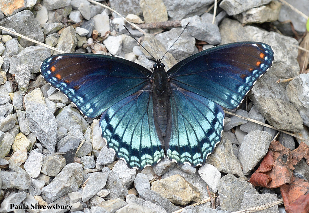 The gorgeous red-spotted purple is part of a mimicry ring of darkly colored butterflies that resemble the noxious pipe-vine swallowtail.   Photo credit: Paula M. Shrewsbury