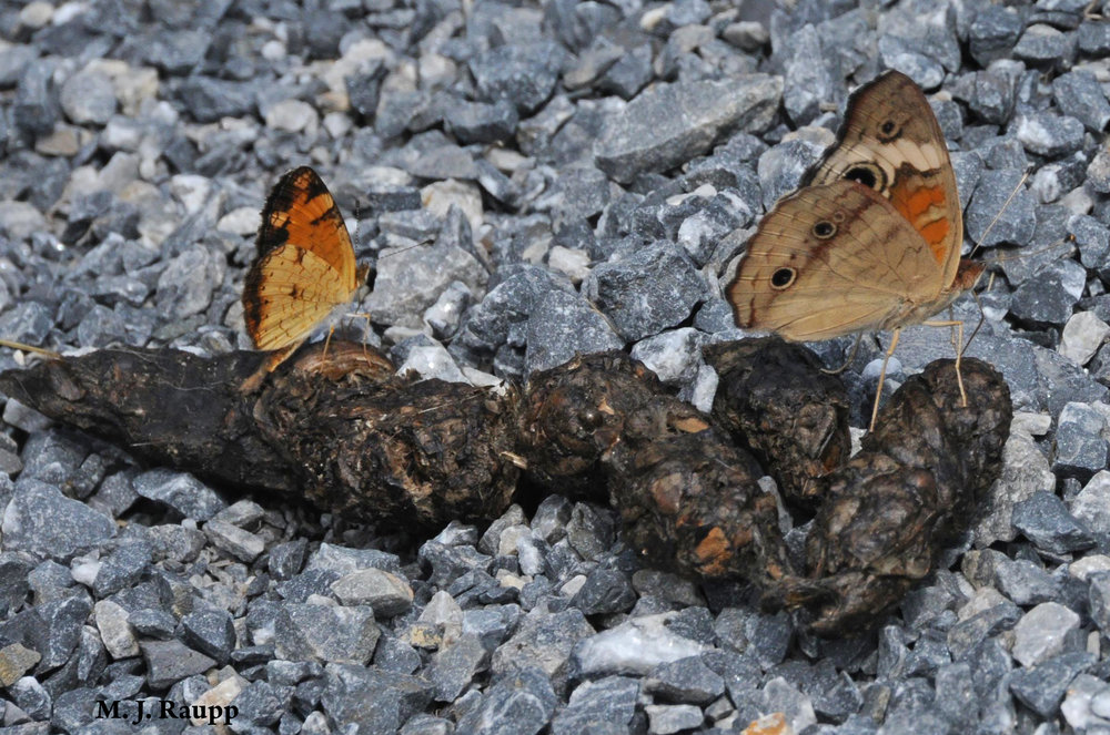A pearl crescent and common buckeye gain vital nutrients from another creature's waste.