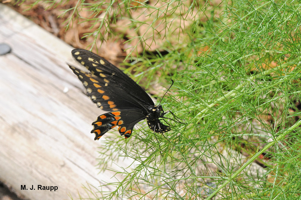 A female black swallowtail butterfly lays her eggs on dill.