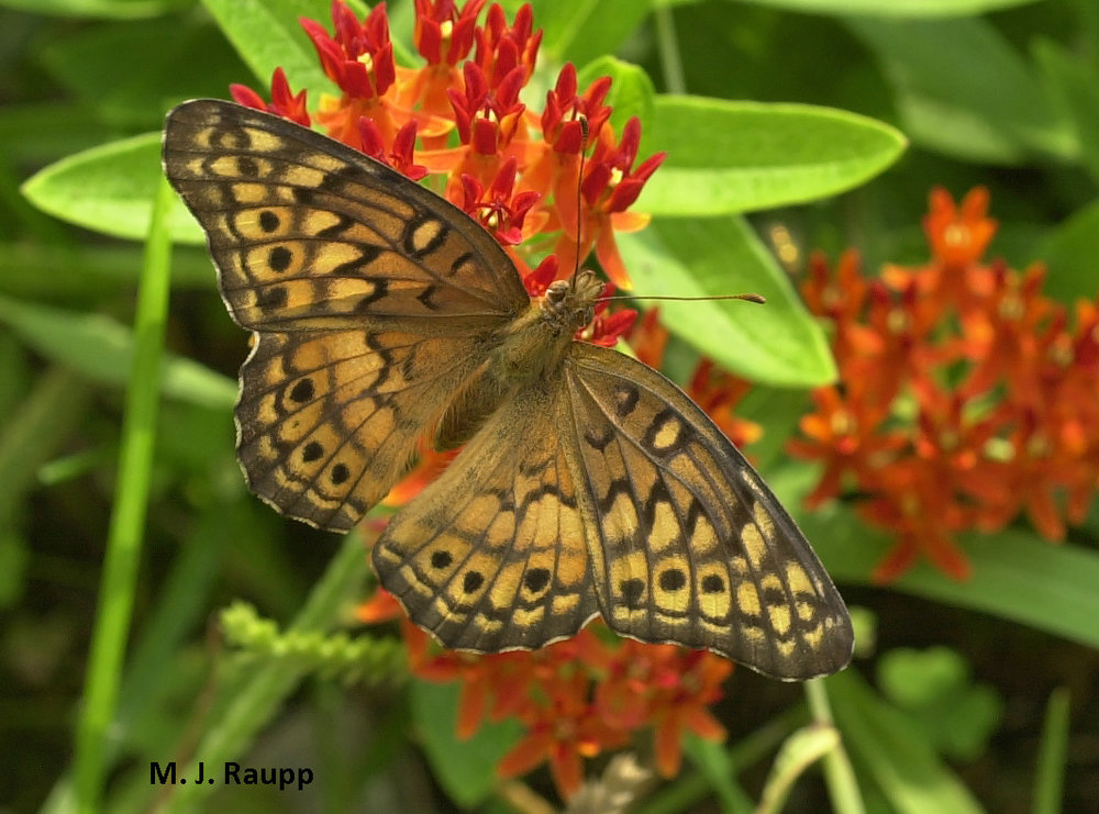 Fritillaries find butterfly weed irresistible.
