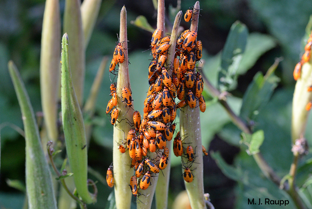 Predators beware of an unpleasant dining experience if you ignore the spooky Halloween colors displayed by large milkweed bug nymphs.